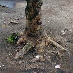 Kořenové náběhy, kořeny i samotný kmen stromu jsou natolik poškozené zhutněním a opakovaným přejížděním vozidel a stavební techniky, že je nutno strom odstranit. Vzniklé rány budou rychle infikovány dřevními houbami a dojde k vyvrácení stromu.