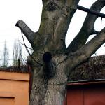 """Neodborně ošetřená dřevina (tzv. věšák). Řez nebyl proveden na na větevní límeček, nedojde k zahojení ran. Tento typ """"ošetření"""" by bylo možné hodnotit jako poškození stromu dle zákona č. 114/92 Sb. o Ochraně přírody a krajiny."""