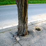 Udušený kořenový systém, strom nemá perspektivu, nemá čím dýchat. Navíc dochází k destrukci kořenového systému činností dřevních hub. Doporučení vykácet, hrozí vyvrácení.