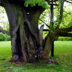 Rozsáhlé poškození kmene několikasetleté lípy (památný strom). Vyžaduje komplexní a kvalifikovaný zásah.