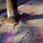 Částečné odstranění a udušení kořenového systému sakury (Prunus serrulata cv. Kanzan) z důvodu snižování terénu při rekonstrukci chodníku. Podobný konflikt je častý, lze mu předejít správnou technologií stavby.