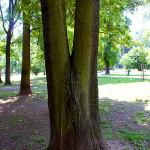 Tlakové větvení, hrozí rozlomení kosterních větví. Nutná instalace dynamické vazby, případně redukce stromu.
