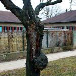 Rakovina stromu, rozsáhlá hniloba kmene sakury (Prunus serrulata cv. Kanzan). Plodnice hub (outkovka pestrá - Trametes versicolor). Strom nemá do budoucna perspektivu, zdravotní stav se bude již jen zhoršovat a záchrana stromu není možná. Doporučeno odstranění.