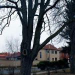 Tlakové větvení, posunuté těžiště u jírovce maďalu (Aesculus hippocastanum). Nutná redukce nebo instalace dynamické vazby, protože hrozí odlomení celé větve a její pád.