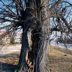Rozsáhlé poškození kmene lípy velkolisté (Tilia platyphyllos) a hniloba způsobená činností dřevních hub. Havarijní stav stromu, hrozí statické selhání. Doporučeno odstranění a provedení nové výsadby.