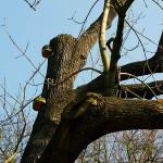 Strom byl opakovaně poškozený, je silně napadený dřevními houbami, vytváří vlky. Z hlediska estetiky a dlouhodobé perspektivy nemá budoucnost. Doporučena výměna.