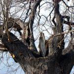 Rozsáhlé poškození lípy (Tilia platyphyllos) v oblasti větvení kosterních větví. Strom je neperspektivní, nelze jej uspokojivě ošetřit. Doporučena výměna.