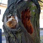 Ukázka hniloby způsobené dřevními houbami. U stromu hrozí statické selhání, doporučeno odstranění a nahrazení novou výsadbou.