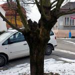 Sekundární koruna u javoru mléče (Acer platanoides), hniloba v místě nasazení kosterních větví. Vlivem mrazu došlo k roztržení kmene. Havarijní stav.