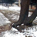 Poškozený kořenový systém katalpy (Catalpa bignonioides), vychýlené těžiště. Doporučeno odstranění