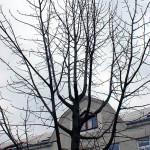 Příklad nevhodně zapěstované koruny, respektive neprovedeného výchovného řezu (více hlavních terminálů). Pokud nedojde ke kvalifikovanému  ošetření, vyroste další strom s tlakovými větveními, který bude jednou nutné za značné prostředky stabilizovat nebo rovnou kácet.