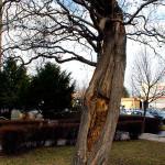 Havarijní stav, otevřená dutina, pokročilá hniloba. S ohledem na stav dřeviny hrozí statické selhání. Odstranit, nelze již ošetřit.