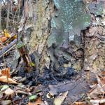 Javor klen napadený dřevomorem kořenovým (Ustulina deusta). Tato zpravidla nenápadná dřevní houba je pro strom fatální. Dochází k rychlé destrukci kořenového systému a zásadnímu narušení stability. Napadený strom je nutné okamžitě pokácet jako havarijní, protože může kdykoliv dojít k jeho vyvrácení.
