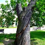 Jírovec maďal (Aesculus hippocastanum) v havarijním stavu. Puklina vznikla působením hniloby vyvolané dřevními houbami. Strom se krátce po vyfotografování samovolně zřítil.