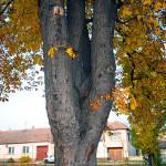 Tlakové větvení na jírovci maďalu (Aesculus hippocastanum). Hrozí statické selhání a rozlomení kosterních větví. Strom je nutné buď zabezpečit (dynamická vazba, redukce) nebo pokácet, protože hrozí jeho rozlomení a pád kosterních větví.