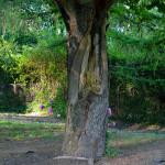 Rozsáhlé poškození jírovce maďalu (Aesculus hippocastanum) po odlomení kosterní větve (v důsledku tlakového větvení). Vzniklá dutina je masivně napadená hnilobou. Havarijní stav, takový strom se musí zpravidla pokácet, protože může dojít k ohrožení života a majetku.