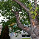 Sakura (Prunus serrulata cv. Kanzan) s rozsáhlým poškozením kmene a kosterních větví. Z hlediska budoucnosti neperspektivní jedinec, poškození se bude už jen zhoršovat a hrozí zlomení poškozených větví. Doporučená výměna.