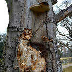 Hniloba kmene buku (Fagus sylvatica) způsobená troudnatcem kopytovitým (Fomes fomentarius). Napadení je natolik rozsáhlé, že hrozí samovolný pád stromu. Havarijní stav.